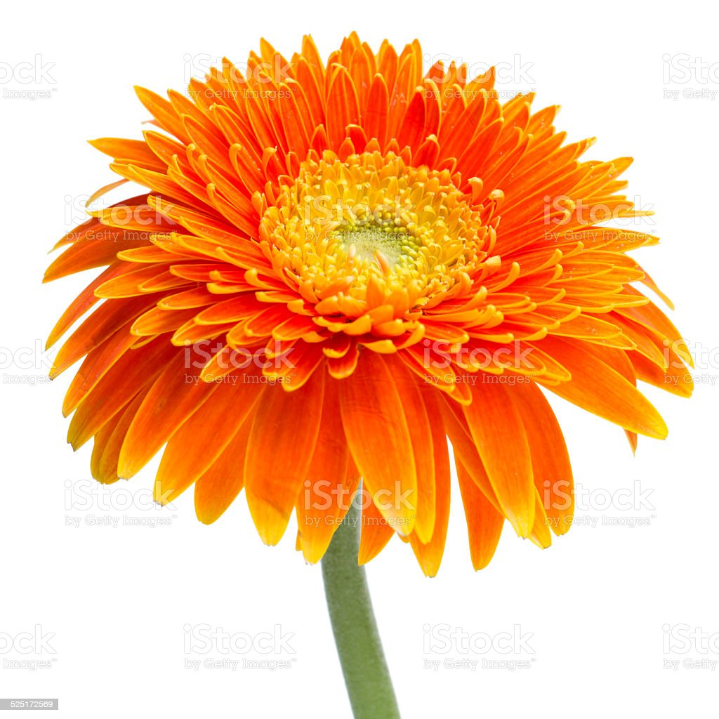 Orange daisy stock photo
