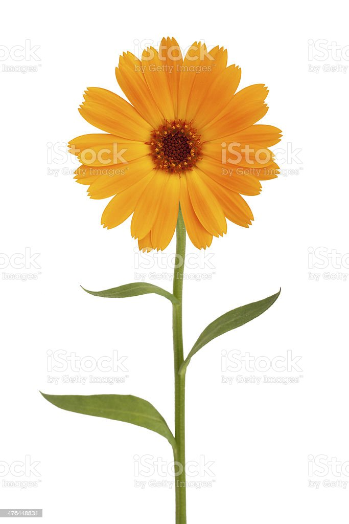 Orange daisy with long stem stock photo