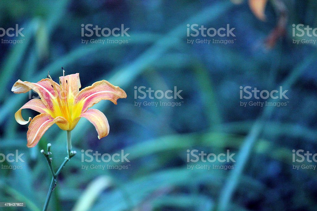 Orange Daylily Flower with Blurred Background stock photo