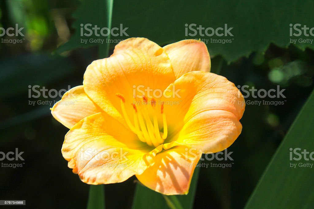 Orange day-lily in the garden stock photo
