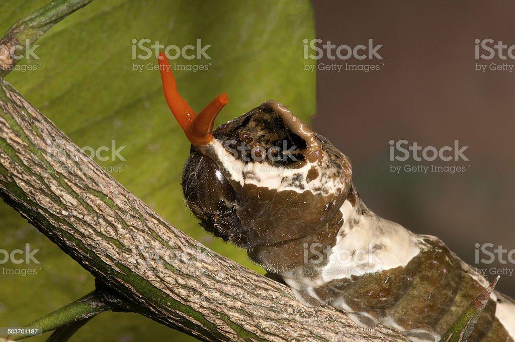 Orange Dog Caterpillar stock photo