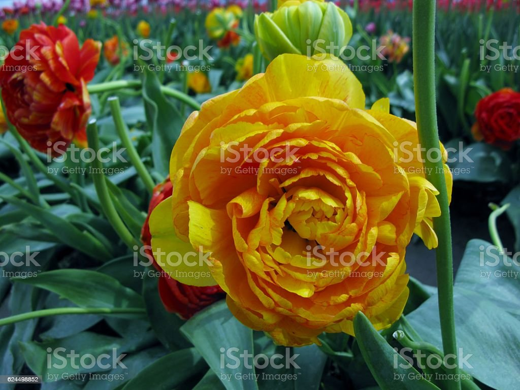 Orange double petal tulip flowers. Peony tulips. stock photo