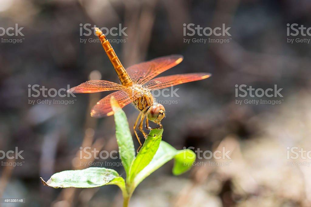 Orange dragonfly stay on grass stock photo