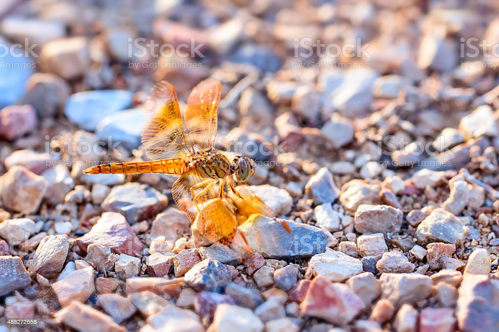 Orange dragonfly stay on rock stock photo