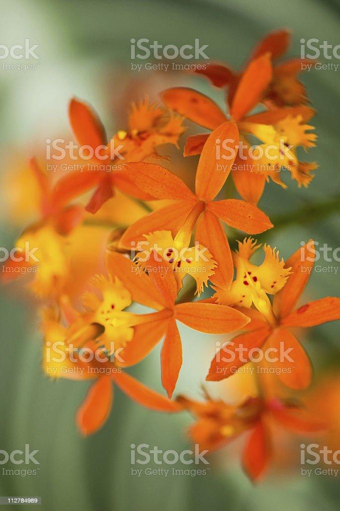 Orange Epidendrum orchid on green background stock photo