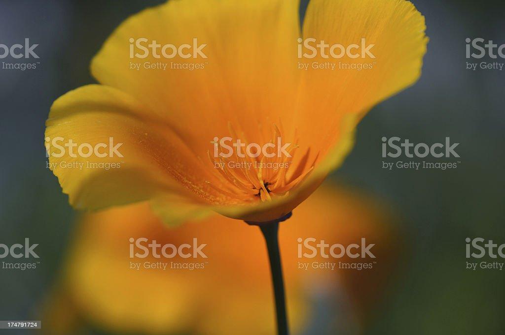 Orange Eschscholzia Californica flower royalty-free stock photo
