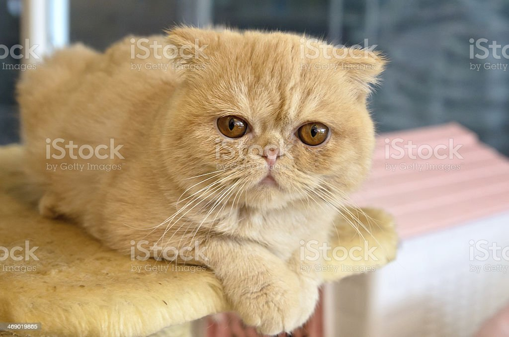 Orange Exotic Shorthair on a Cat Tree stock photo