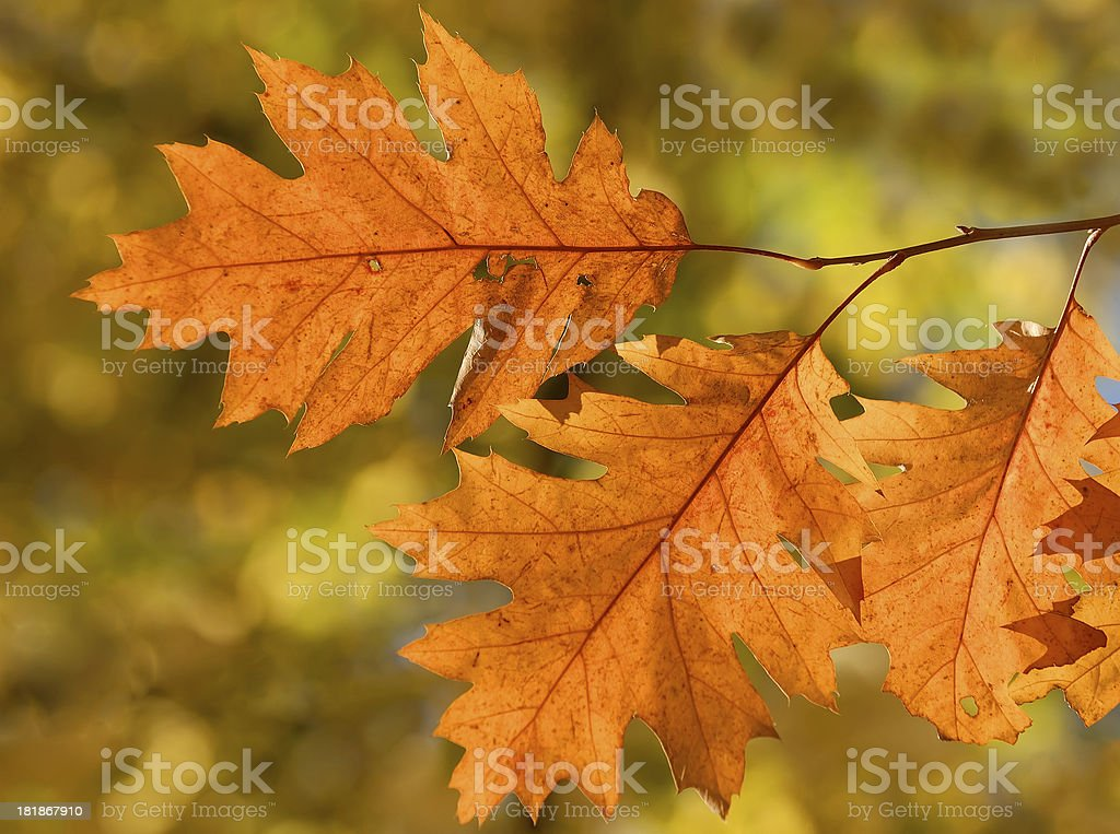 Orange fall leaves with blurred park background royalty-free stock photo