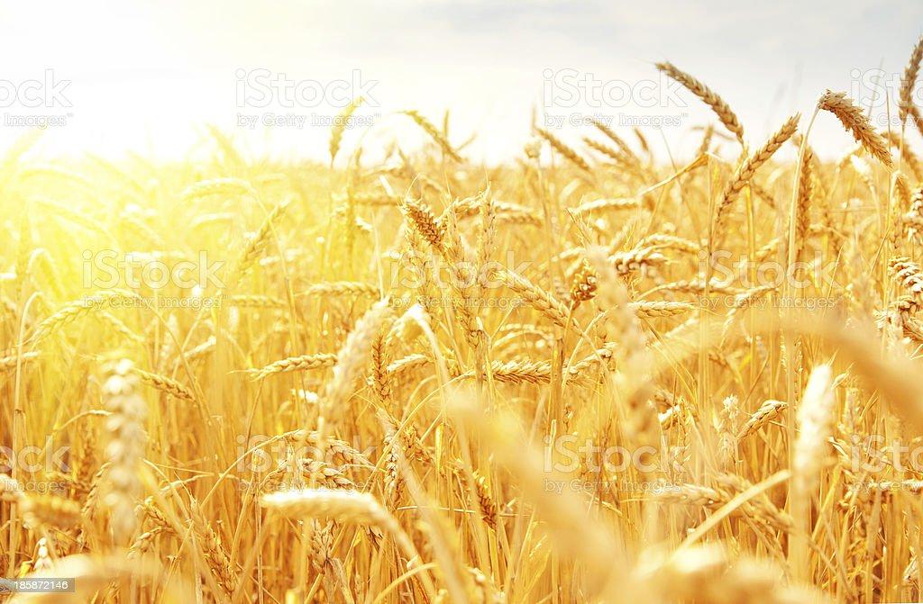 Orange field of wheat stalks in sunlight stock photo