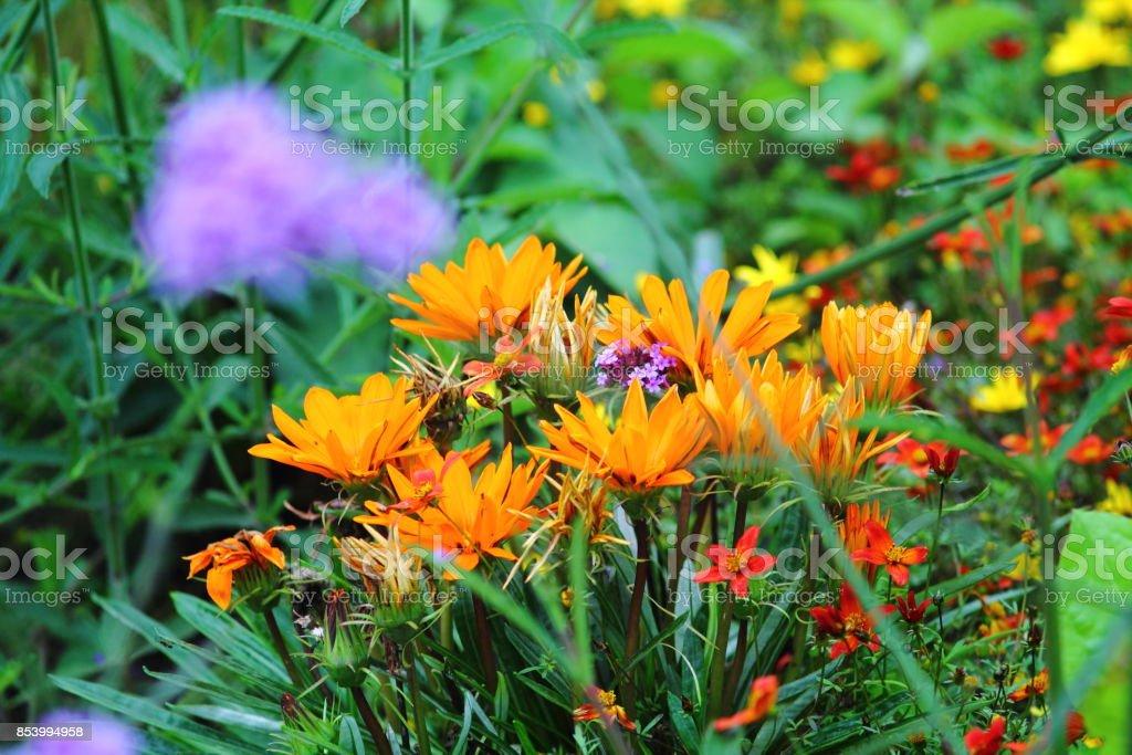 Orange fire wheel flowers in flowerbed. stock photo
