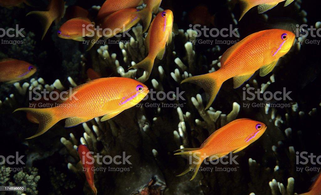 Orange Fish royalty-free stock photo
