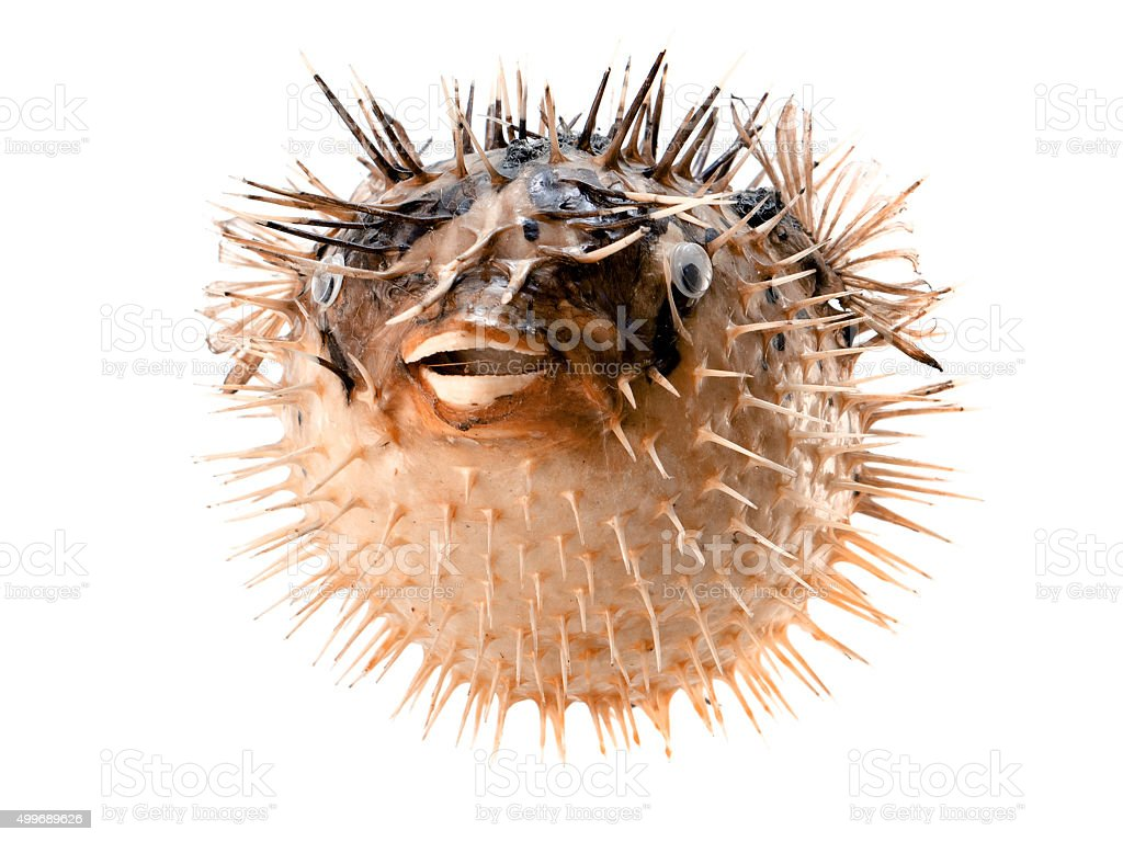 Orange fish-hedgehog isolated on white stock photo