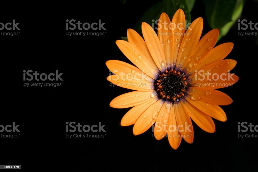 Orange flower black background royalty-free stock photo