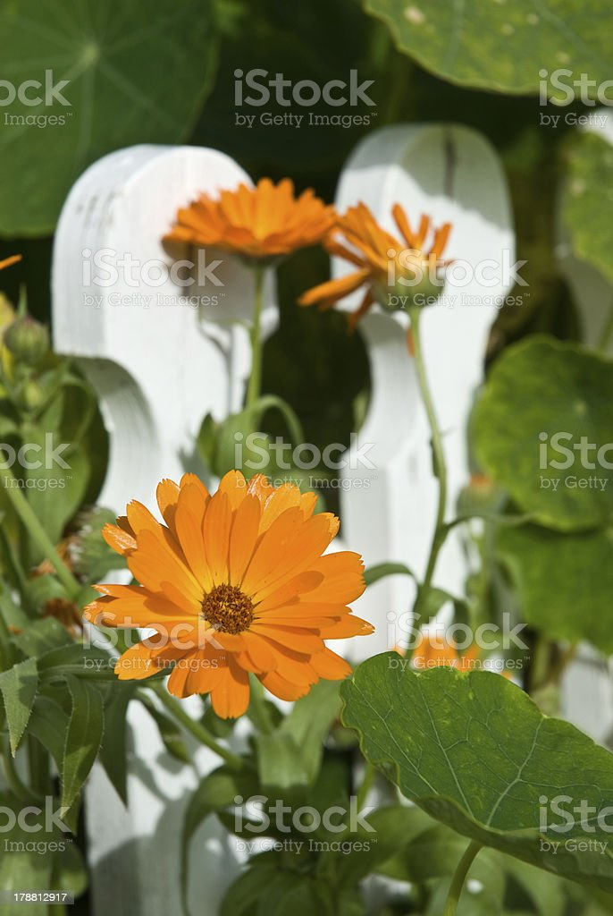 Orange flower in the sun royalty-free stock photo