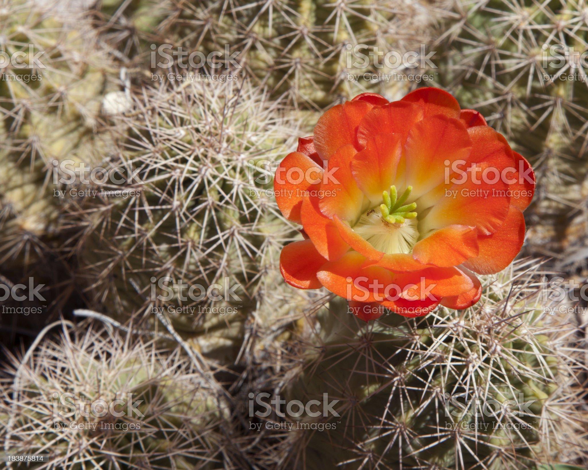 Orange Flower on Cactus royalty-free stock photo