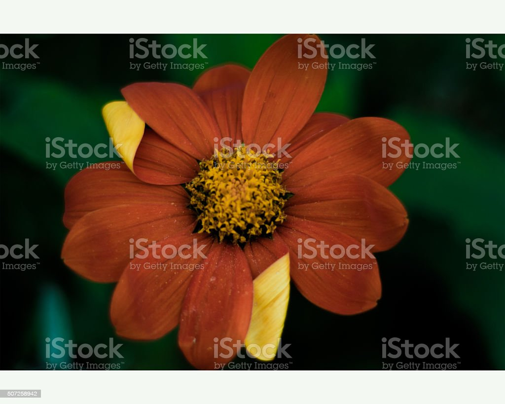 Orange flower on green backdrop royalty-free stock photo