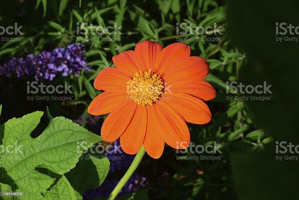 Orange Flower With Background Greenery stock photo