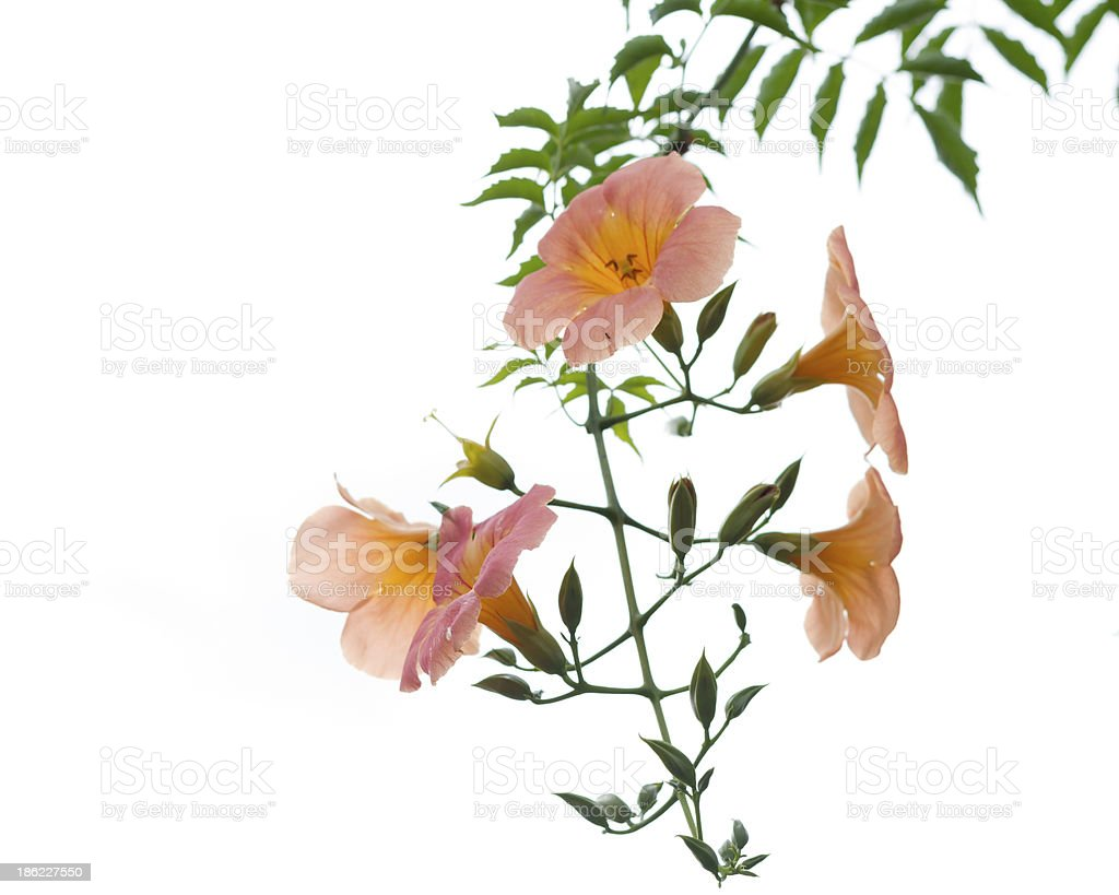 Orange flower with green leaves isolated royalty-free stock photo