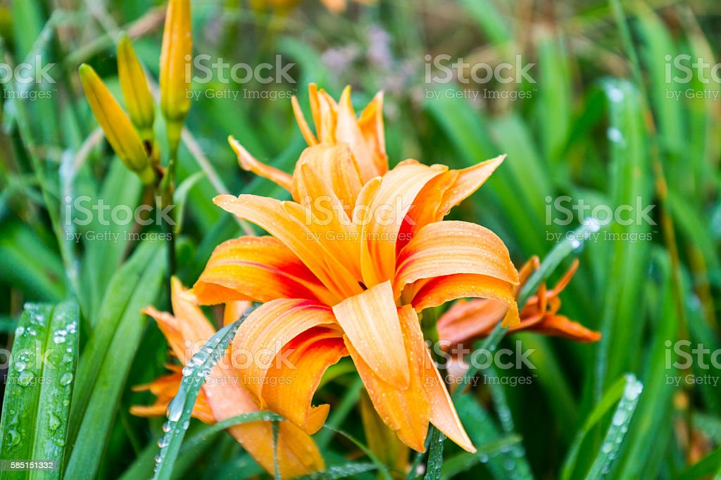 Orange flower with water drops rain, close-up, selective focus stock photo