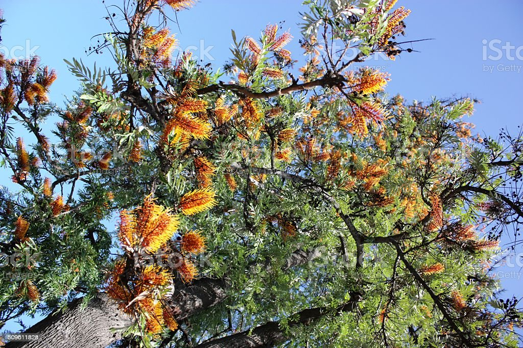 Orange flowering australian silky oak Grevillea robusta, Los Angeles USA stock photo