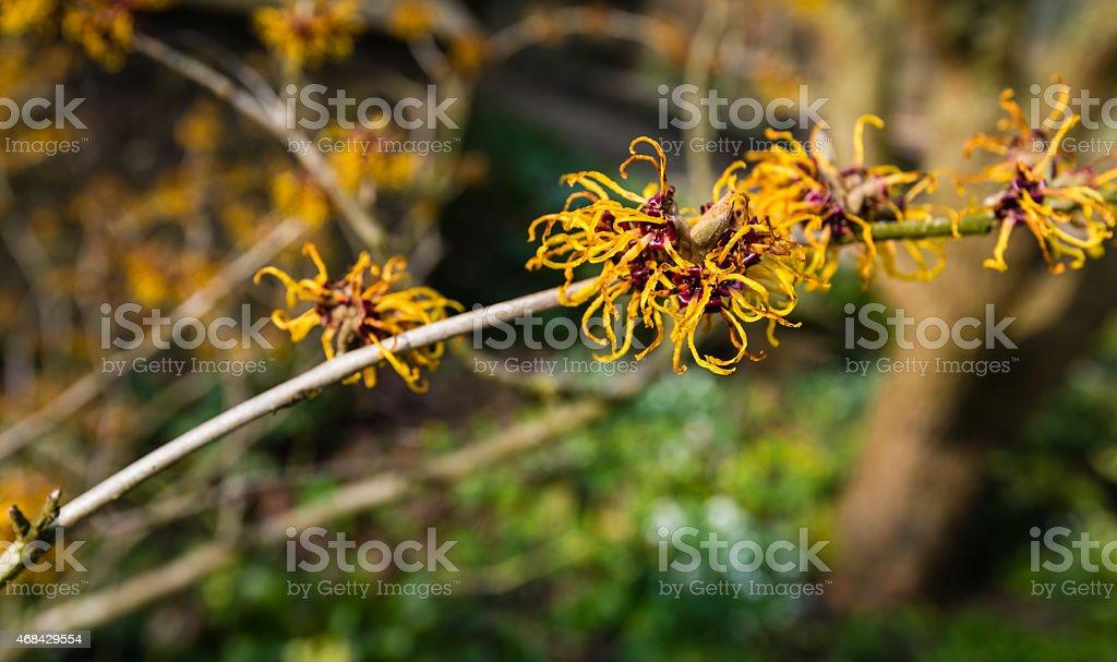 Orange flowering twig of a Witch-hazel shrub stock photo