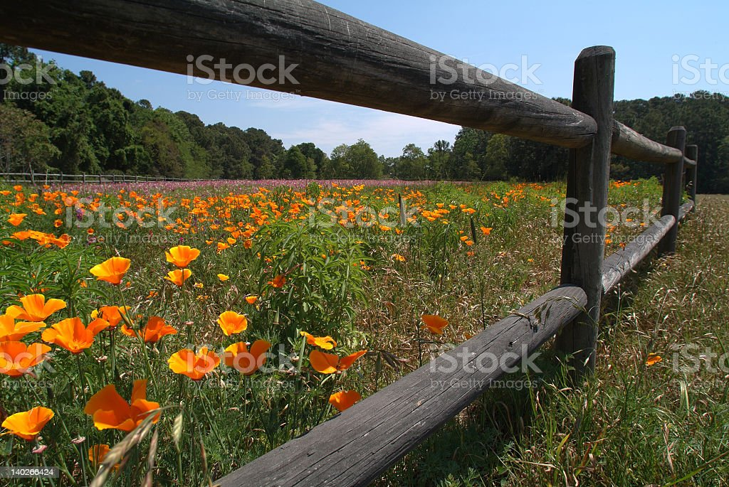 Orange flowers growing wild in a field with a wooden fence royalty-free stock photo