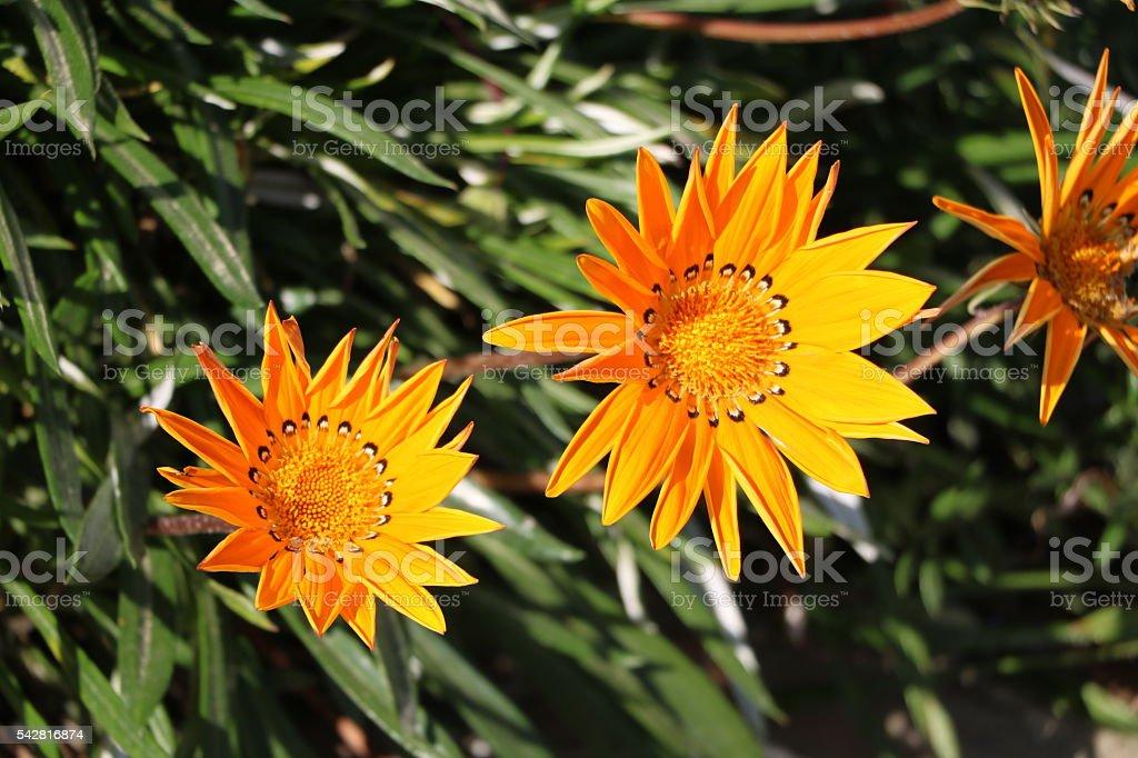 Orange flowers of Gazania Hybrid stock photo