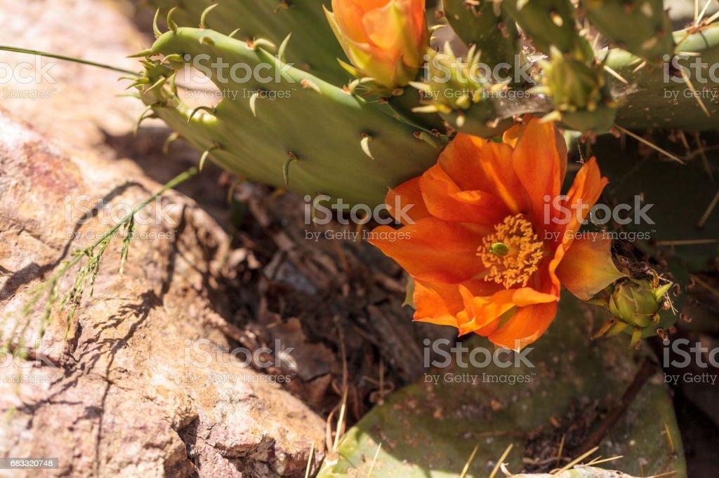 Orange flowers on a hedgehog cactus, Echinocereus triglochidiatus stock photo
