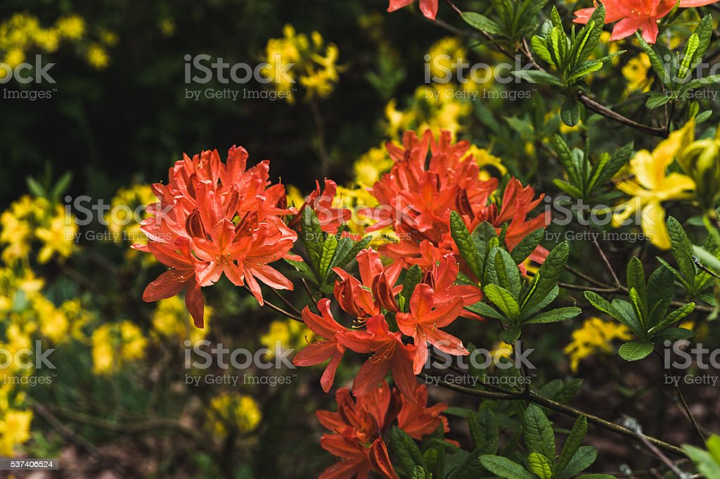 Orange flowers rhododendron in the background of lush green stock photo