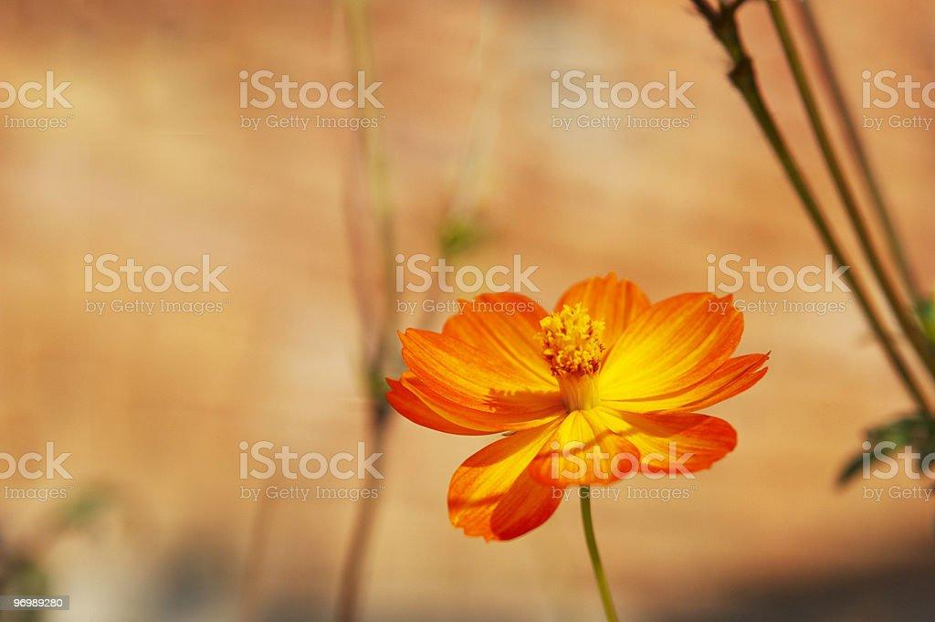 Orange folower royalty-free stock photo