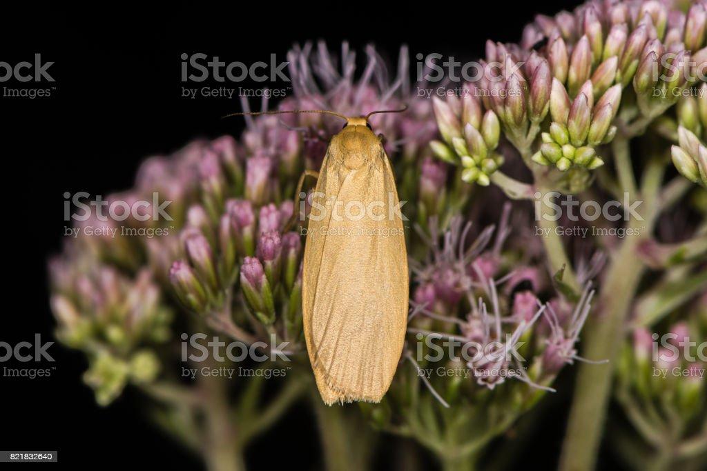 Orange footman moth (Eilema sororcula) on flower stock photo