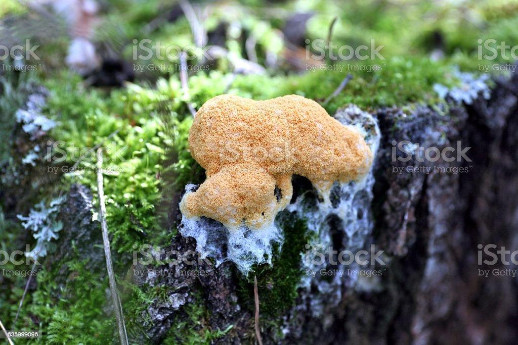 orange forest mushroom is like a sponge stock photo