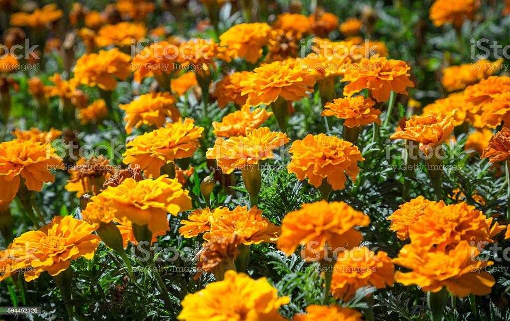 Orange French marigolds on the bed stock photo