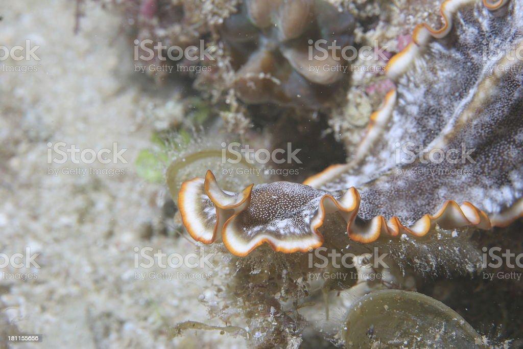 Orange Fringed Flatworm royalty-free stock photo
