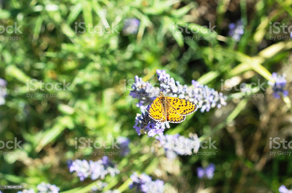 orange fritillary butterfly on lavender stock photo