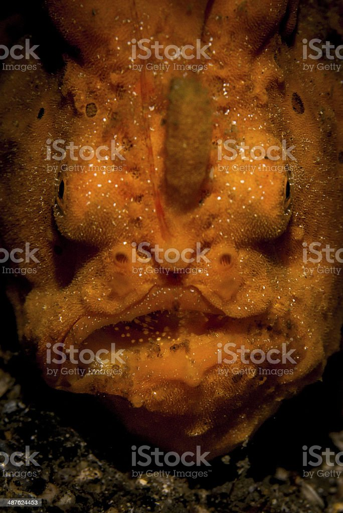 Orange Frogfish stock photo