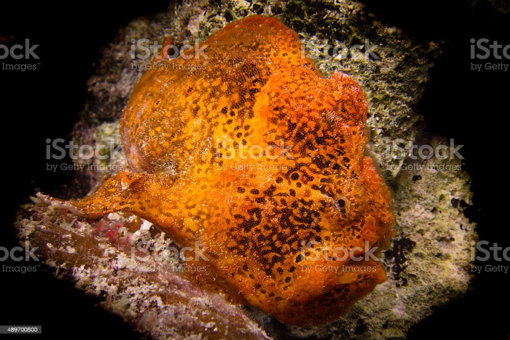 Orange Frogfish stock photo