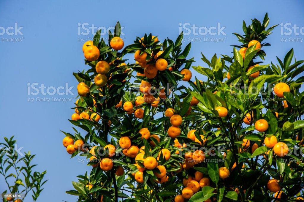 Orange fruit closeup in autumn stock photo
