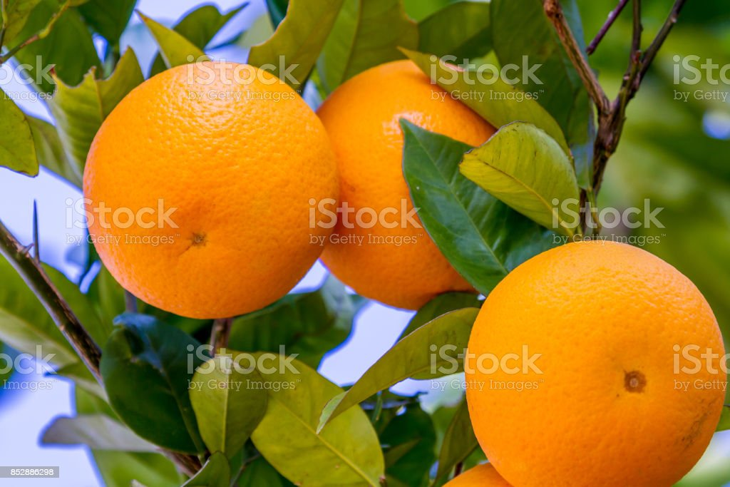 Orange Fruit Growing in a Tree stock photo