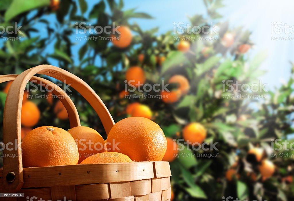 orange garden stock photo