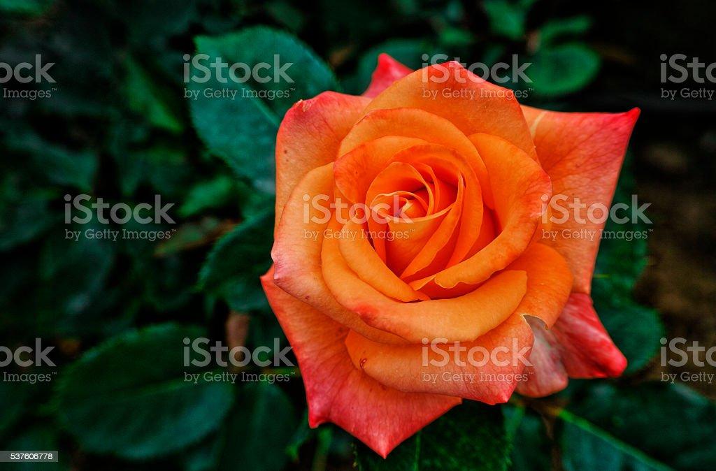 Orange garden rose from Bulgaria royalty-free stock photo