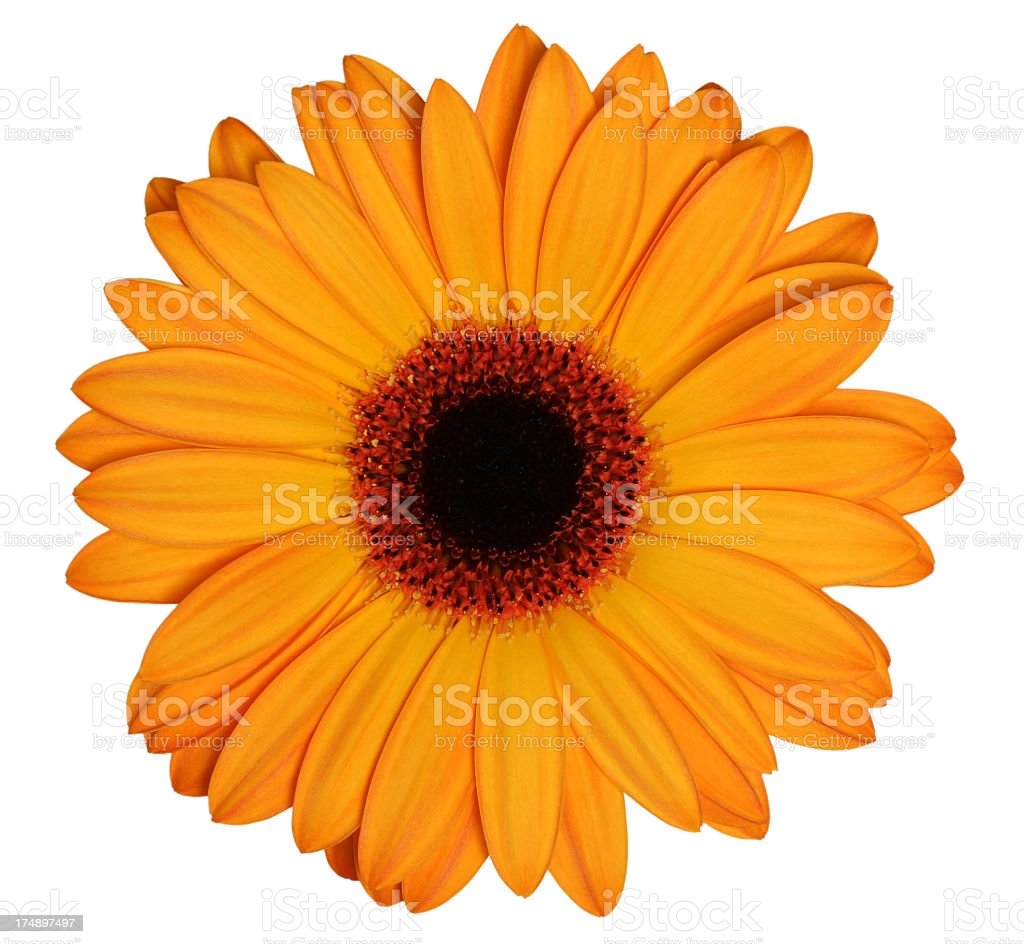 Orange Gerber daisy on a white background royalty-free stock photo