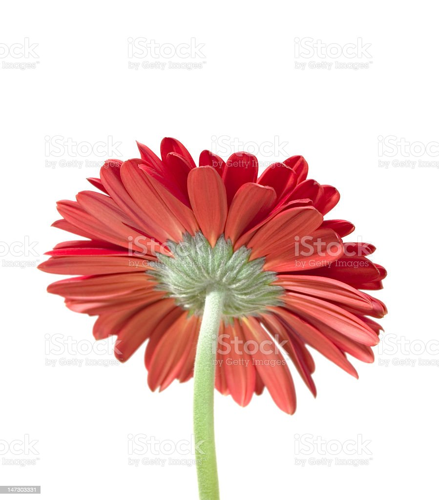 orange gerber daisy royalty-free stock photo