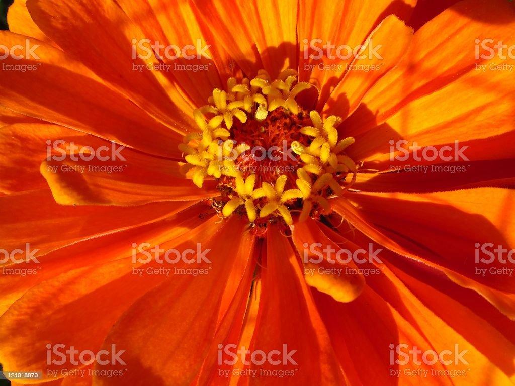 Orange Gerbera Close-up stock photo