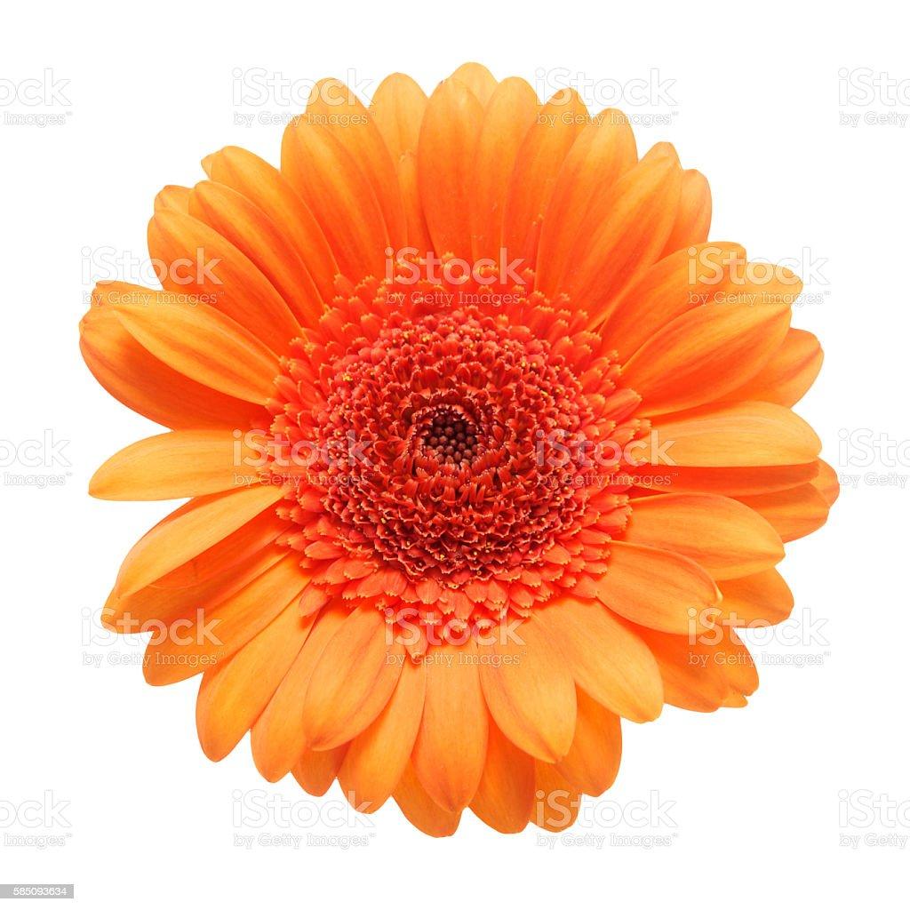 Orange gerbera daisy flower isolated on a white background stock photo