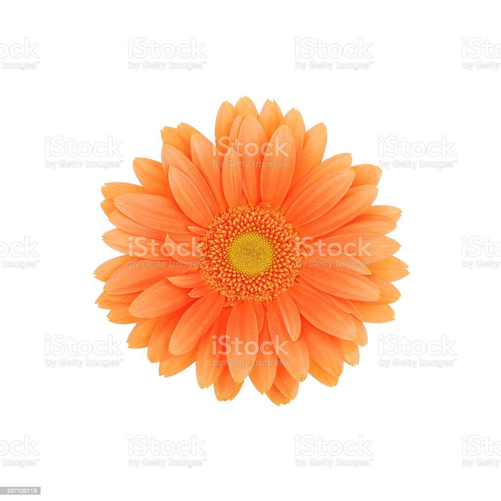 Orange Gerbera daisy isolated on white stock photo