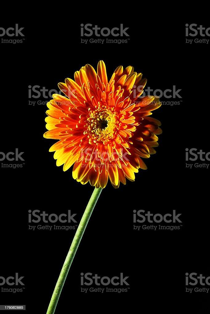 Orange Gerbera daisy on isolated Black background royalty-free stock photo