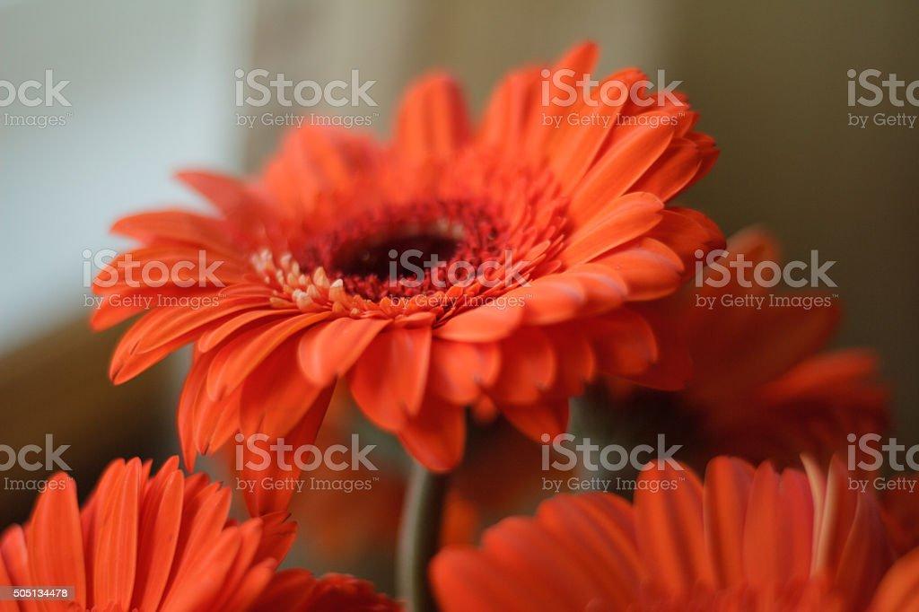 Orange Gerbera Daisy with Soft Focus stock photo
