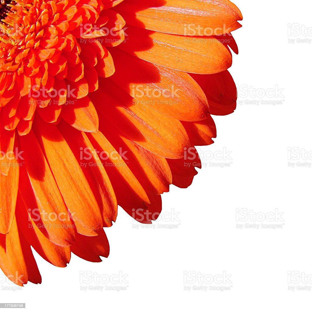 Orange gerbera flower isolated on white background stock photo