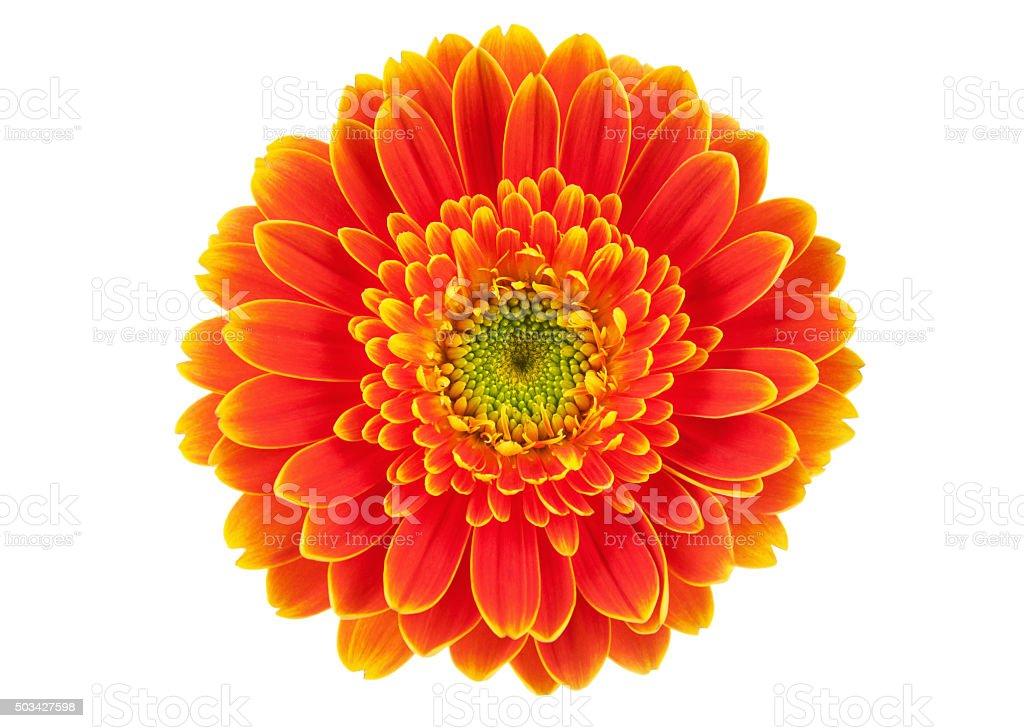 Orange gerbera flower isolated on white. stock photo